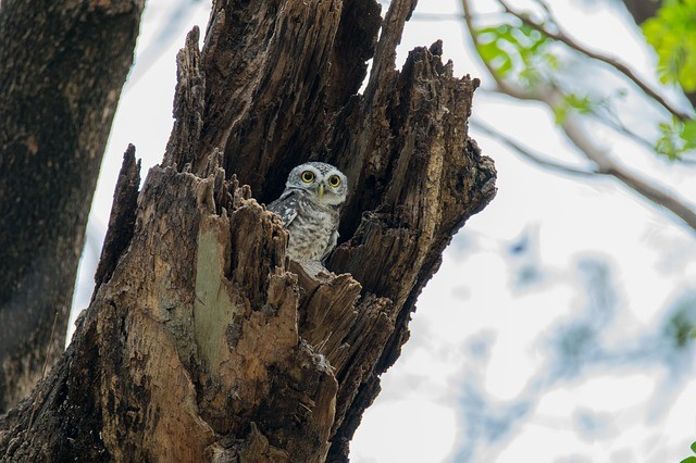 the spotted owlet 2289917 640
